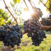 Resveratrol - ekstrakt ze skórek winogron